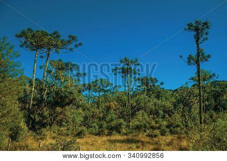Landscape Of Pine Treetops Amid Lush Forest In Aparados Da Serra National Park Near Cambara Do Sul.