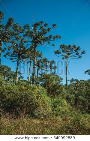 Landscape Of Pine Treetops Amid Lush Forest In Aparados Da Serra National Park Near Cambara Do Sul.
