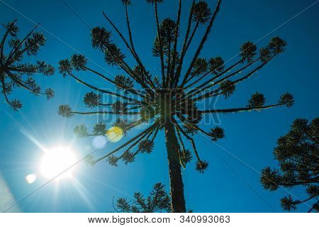 Pine Treetop With Sunlight Passing Through Branches In The Aparados Da Serra National Park Near Camb
