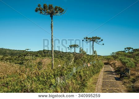Paved Pathway Passing Through Forest With Pine Trees In The Aparados Da Serra National Park, Near Ca
