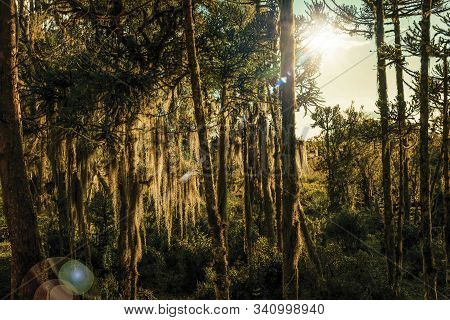 Tree Branches Covered By Lichen And Epiphytes With Sunlight Passing Through In A Farm Near Cambara D