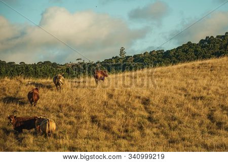 Cattle Scattered On Rural Lowlands Called Pampas With Dry Bushes Covering The Hills Near Cambara Do