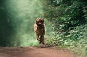 funny weimaraner dog in a collar running in the forest poster
