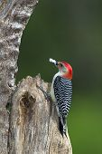 Male Red-Bellied Woodpecker stands perched at a feeder station. poster