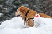 Rescue dog searching people in the mountains after avalanche poster