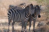 Two zebras in Tarangire National Park in Tanzania poster