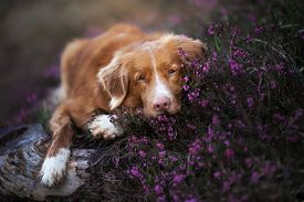 The Dog In Heather. Nova Scotia Duck Tolling Retriever In The Forest. Pet On The Nature. Red Toller