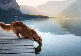 Dog On A Journey. Nova Scotia Duck Tolling Retriever At A Mountain Lake On A Wooden Bridge. A Trip W