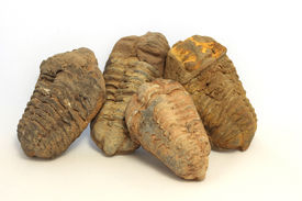Group Of Trilobites