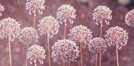 Close-up Image Of The Summer Flowering White Bulbs Of Allium Stipitatum.