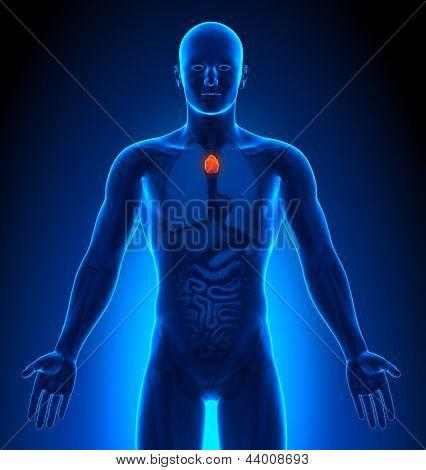 Medical Imaging - Male Organs - Thymus