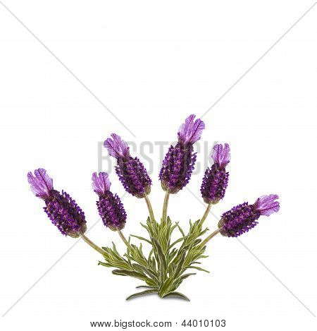 Luscious Lavender Isolated On White Background
