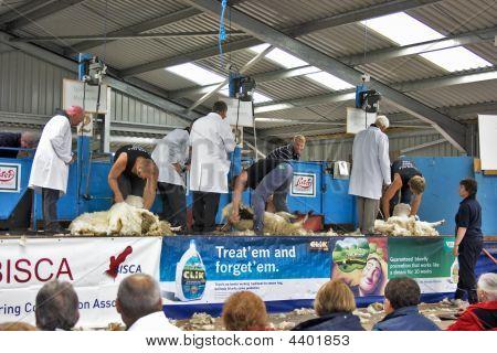 Sheep Shearing, Black Isle, 2008