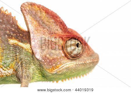 Chameleon isolated