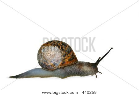snail isolated on a white background. poster