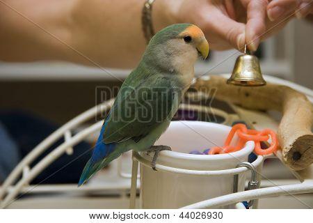 Cute Little Lovebird