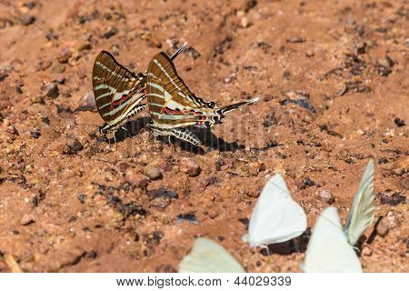 Two chain swordtail (Graphium aristeus) butterflies feeding (mud pudding) on the ground poster