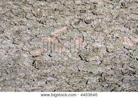 Spruce Bark