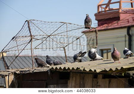 Old derelict dovecote and pigeons