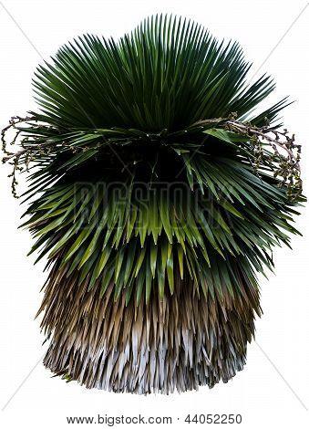 Cuban Petticoat Palm Tree