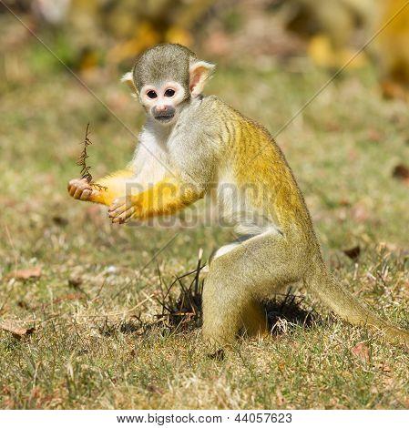 Squirrel Monkey (saimiri Boliviensis)