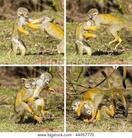 Two Young Squirrel Monkeys (saimiri Boliviensis) Fighting