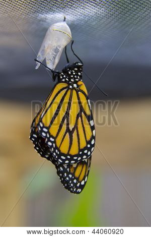 Monarch Butterfly Just Born