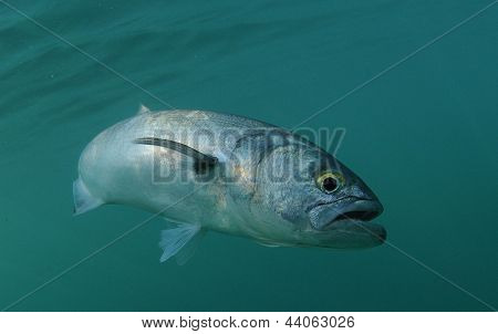 Bluefish Is Swimming In Ocean