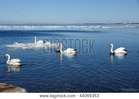 White Swans  And The Sea