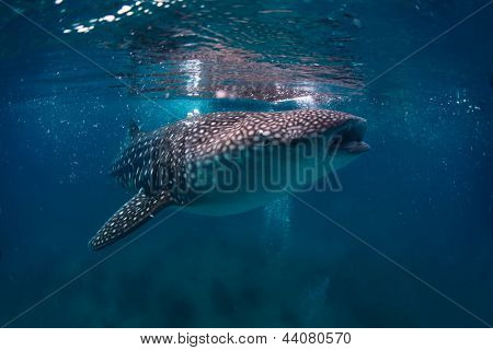 Gigantic whale shark (Rhincodon typus) feeding near surface