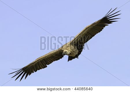 Cape Vulture Flying In A Blue Sky
