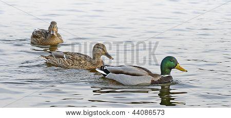Wild Ducks Are Swimming On River