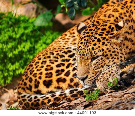 Gorgeous leopardess in natural habitat poster