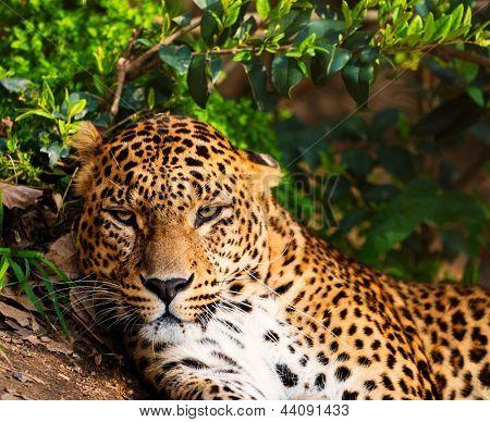 Close-up shot of a gorgeous leopard
