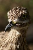Spotted Thick-knee or Dikkop - Burhinus capensis poster