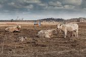 Cows on Overcast Day in Northern Ontario farmland poster
