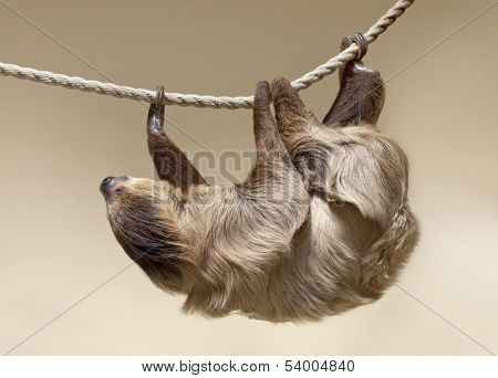 Two-toed sloth in zoo