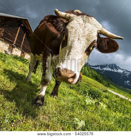 Alpine Cow