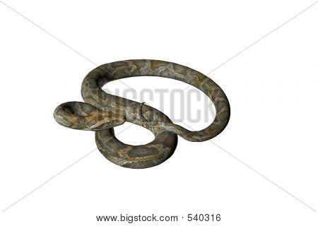 Isolated Snake Nine