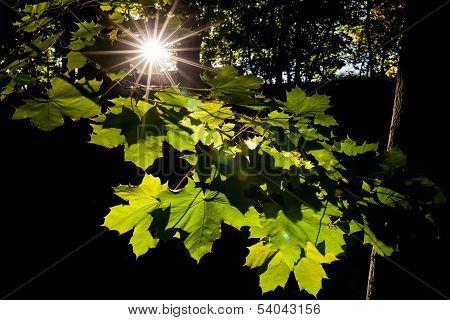 Sunburst and leaves