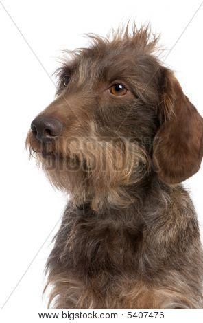 Marrón Dachshund de pelo duro (3 años viejo)