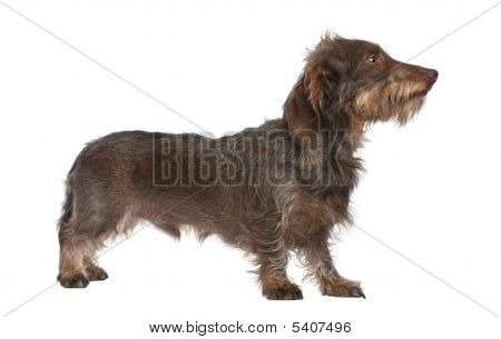 Profile Of A Brown Wire-haired Dachshund (3 Years Old)