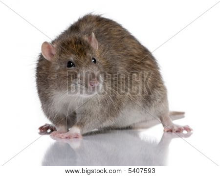 Brown Rat in front of a white background poster