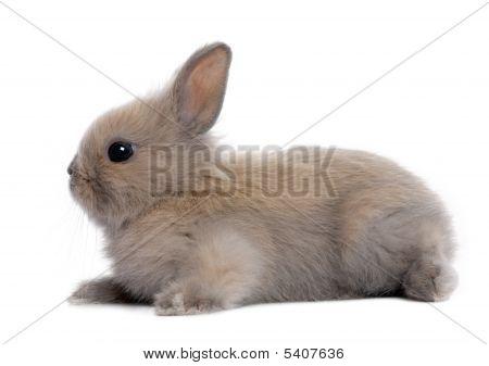 Brown Baby Rabbit (5 Weeks Old)