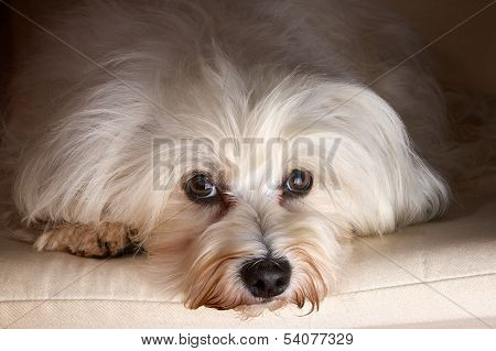 Havanese In Studio
