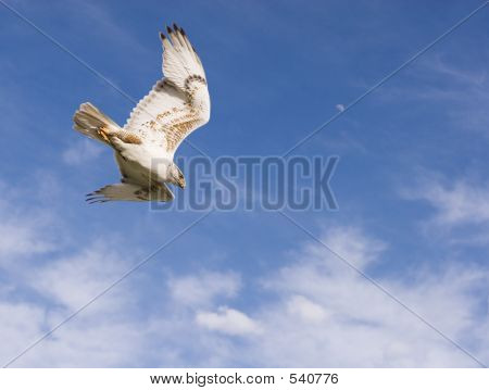 hawk going into a dive with blue sky,clouds and moon in the background poster