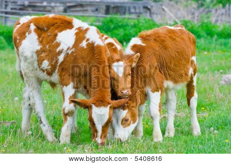 Three young calf feeding on a lawn