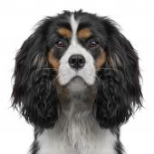 Cavalier King Charles puppy (10 months) in front of a white background (Digital enhancement) poster