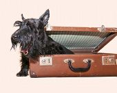 Playful Scottish Terrier in open vintage suitcase poster