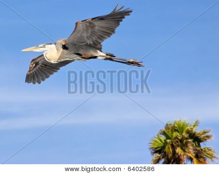 Grey Blue Heron Egret Flying in Florida